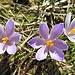 ... der gewinnenden Frühlingsblumen an