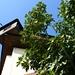 Im Schutz des mächtigen Uhrturmes gedeiht ein prächtiger Feigenbaum.