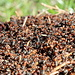 Im Ameisenstaat geht's drunter und drüber