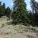 Die Gabelung bei P.1460... gerade hoch zum kahlen Baum und dann rechts auf deutlichen Pfadspuren weiter