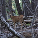Deer in the middle of the woods