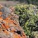Omnipresent orange lichens