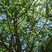 Weißdorn am Baumlehrpfad