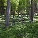 Bärlauchduft liegt in der Waldluft.