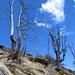 Scheletri di alberi sulle pendici del Piz Martum.
