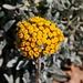 Blüten der in Malta endemischen Art Helichrysum melitense welche ich in einem Park Vallettas fotografierte. In freier Narur ist die Art vom Aussterben bedroht.