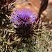 Cynara cardunculus, die wilde Form der Artischoke welche im Mittelmeerraum beheimatet ist.