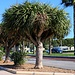 Kanarische Drachenbaum (Dracaena draco).