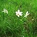 Narcissus poeticus L.<br />Amaryllidaceae<br />
