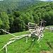All'Alpe Pra Bernardo. I rami di betulla tagliati sembrano quasi una scultura.
