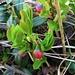 Vaccinium myrtillus L.<br />Ericaceae<br /><br />Mirtillo nero.<br />Myrtille.<br />Heidelbeere.