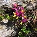 Polygala chamaebuxus L.<br />Polygalaceae <br /><br />Poligala falso bosso.<br />Polygale petit buis.<br />Buchsblättrige Kreuzblume.