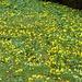 die gelbe Pracht auf der grünen Wiese
