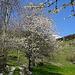 Überall blühen die wilden Kirschbäume