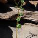 Manchmal wächst sogar was auf oder aus dem Fels