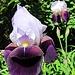 Eine Schwertlilie (Iris).
