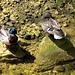 Zwei Stockenten geniessen die kühle Luft in der Twannbachschlucht.