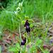 Seltene Orchideen-Art (Fliegenragwurz)