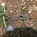 Eine junge Aspisviper (Vipera aspis) sonnt sich auf dem Wanderweg. Mit dieser Begenung hat sich die Wanderung auch ohne Erreichen der Gummfluh gelohnt.