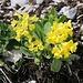 Aurikel (Primula auricula).