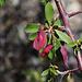 Aus diesen Blüten machen die Buschleute Kaffee