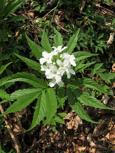 Cardamine heptaphylla (Vill.) O.E.Schulz<br />Brassicaceae<br /><br />Dentaria pennata.<br />Dentaire à sept feulles.<br />Fiedereblättrige Zahnwurz.