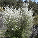 Weisse Blüten/flors blanques