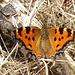 (Nynphalis polycloros).Mariposa de los Olmos