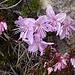 Erica e rododendro cistino