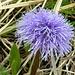 Vedovella alpina (globularia nudicalis)