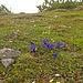 Der Enzian steht auch in voller Blüte