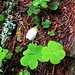 Oxalis acetosella L.<br />Oxalidaceae<br /><br />Acetosella dei boschi.<br />Oxalis petite oseille.<br />Wald-Sauerklee.