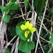 Viola biflora L.<br />Violaceae<br /><br />Viola montana gialla.<br />Violette à deux fleurs.<br />Gelbes Berg-Veilchen.