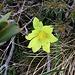 Pulsatilla alpina subsp. apiifolia (Scop.) Nyman<br />Ranunculaceae<br /><br />Pulsatilla sulfurea.<br />Pulsatille soufrée.<br />Schwefel-Anemone.
