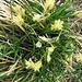 Carex liparocarpos o Carex montana.