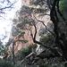 Schiefe Bäume in der Scharte