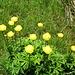 Ankebälli, eine meiner Lieblingsblume