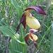 ein erstes Paar der begeisternden, heute dominierenden, Orchideen ...