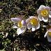 Frühlings-Küchenschelle (Pulsatilla vernalis)?<br />I saw hundreds of these.