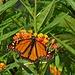Auch Monarchfalter haben sind auf Madeira heimisch, gesehen in grossen Garten unseres Hotels