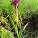 Eine wilde Orchidee...