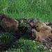 Spielende Murmeltiere / marmotte giocande