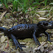 Alpensalamander (Salamandra atra)