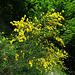 Cytisus scoparius Besenginster Ginestra dei carbonai