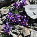 Alpine Toadflax, (Alpen Leinkraut, linaria alpine)