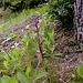 Dingel, eine Orchidee ohne Blattgrün, am Weg von Thel nach Leuk