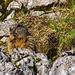 Marmot - ein besonders neugieriges Exemplar.