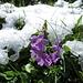 Mehl-Primel (Primula farinosa)