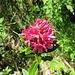 eine von nur wenigen Alpenrosen