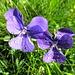 Von diesen Blumen (Veilchen oder Stiefmütterchen?) hatte es reichlich